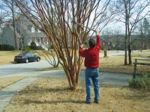 How to prune crepe myrtles