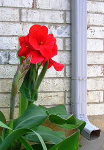 Red Canna LilyImage by gohomekiki @flickr